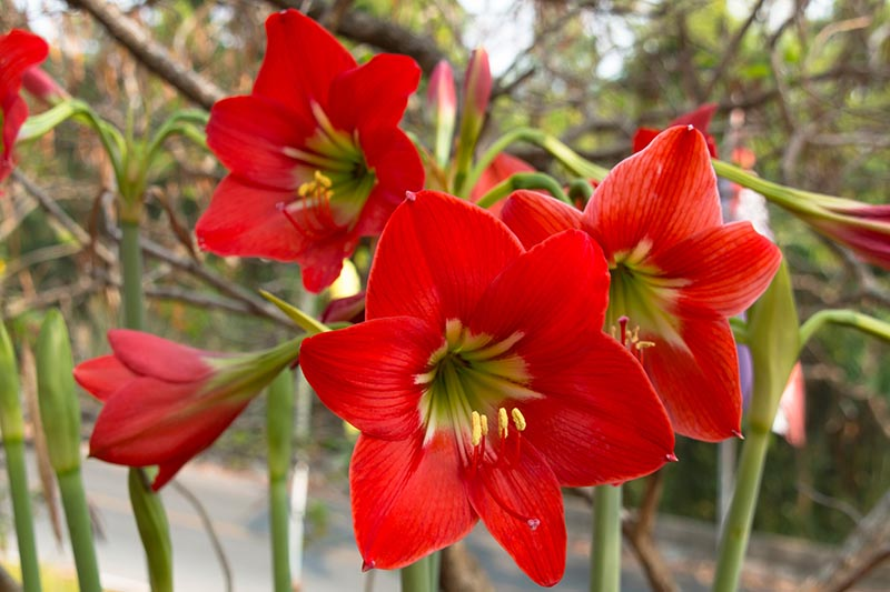 Tips for Growing Amaryllis (Hippeastrum) in the Garden