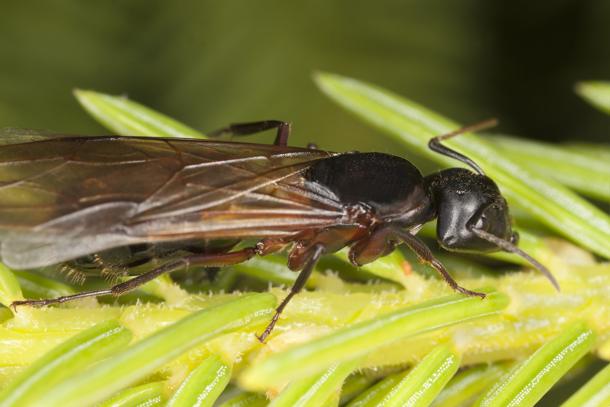 Identifying a Flying Carpenter Ant in Your Home