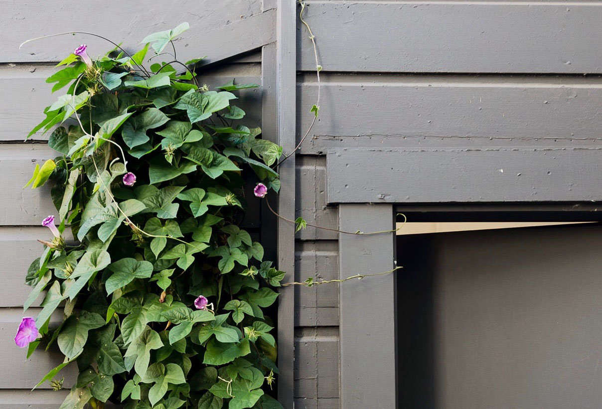 Planting Morning Glories Near a Fence or a Wall
