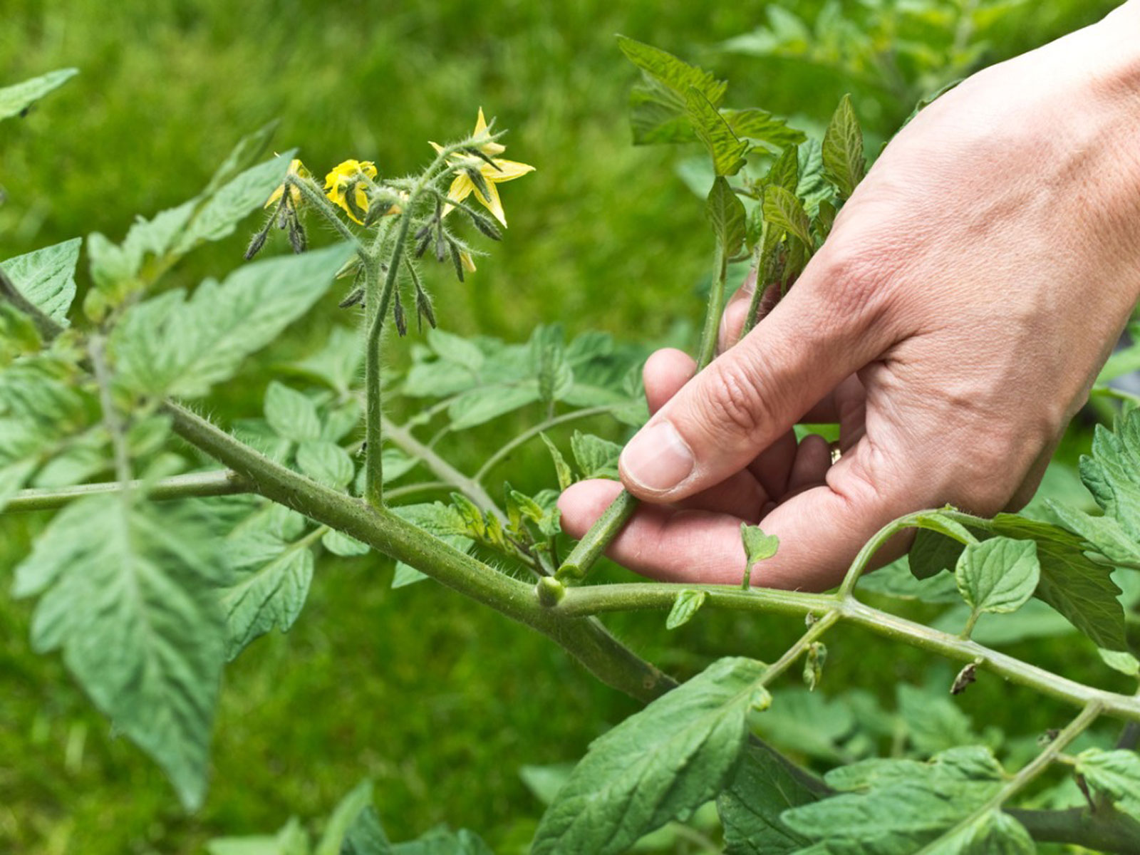 Information About Pruning Tomato Plants
